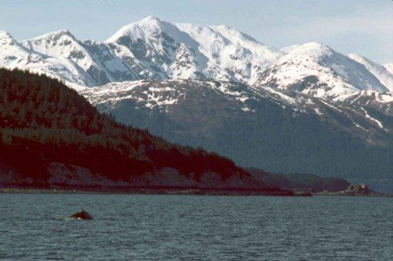 humpback, whale, breaching, southeast, Alaska