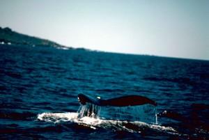 humpback, whale, ocean