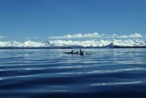 tueur, baleine, animaux, mammifères marins, orcinus orca