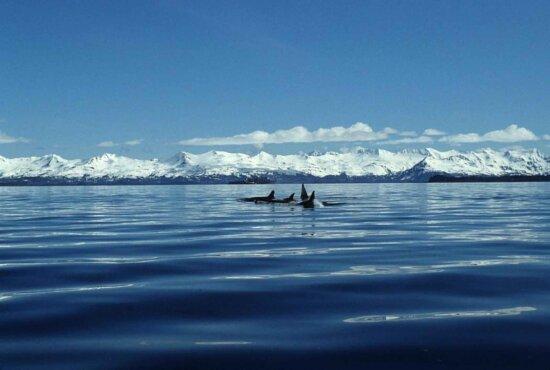 killer, whale, animals, marine mammals, orcinus orca