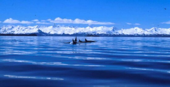 killer, whale, water