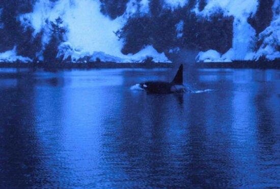 male, killer, whale, orcinus orca