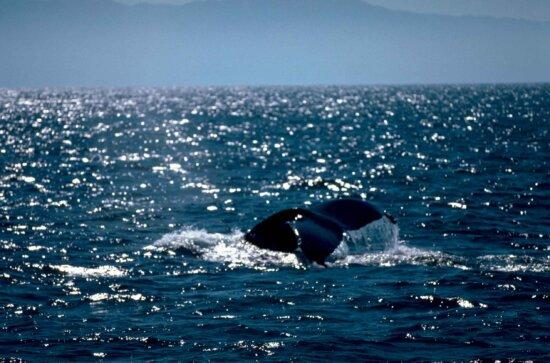 mamíferos marinos, jorobada, ballena, mamífero, animal