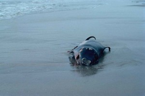 marine mammal, pigmy, sperm, whale, kogia, breviceps, beached