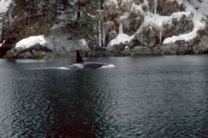 orcinus orca, vrah, velryby, mořských savců