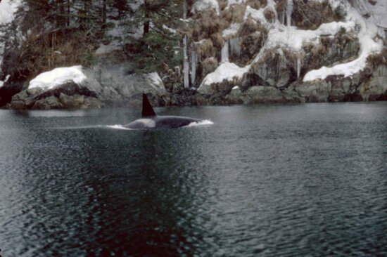 orcinus orca, killer, whale, marine mammal