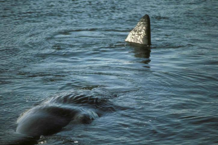 sperm, whale, swimming, water, up-close, physeter, catodon