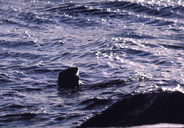 whale, ocean, waters