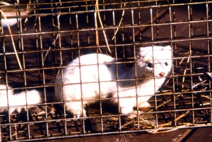 white, long, tailed, weasel, mustela, frenata, animal