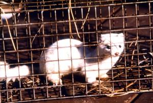 white, long, tailed, weasel, mustela frenata, animal