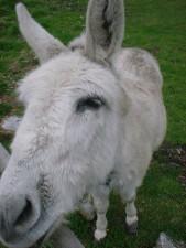 white, mule