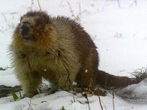 kuning, perut, marmot