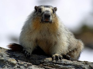 yellow, bellied, marmots