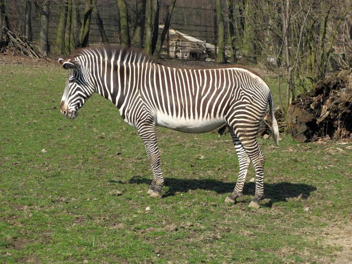 zebra, animal, mammal, zoo, garden, wildlife