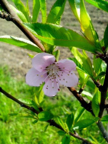 flower, full, bloom, branch