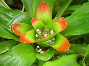 Adelaide, botanički vrtovi, tip, bromeliacea