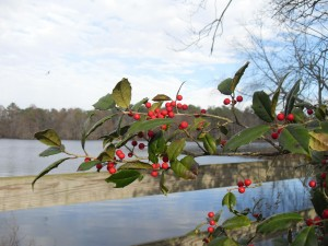 American, holly, branches, berries