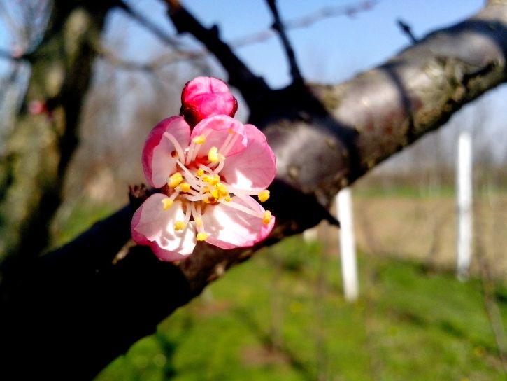 apple, bud, flowering, branch