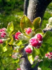 apple, bloom, plant
