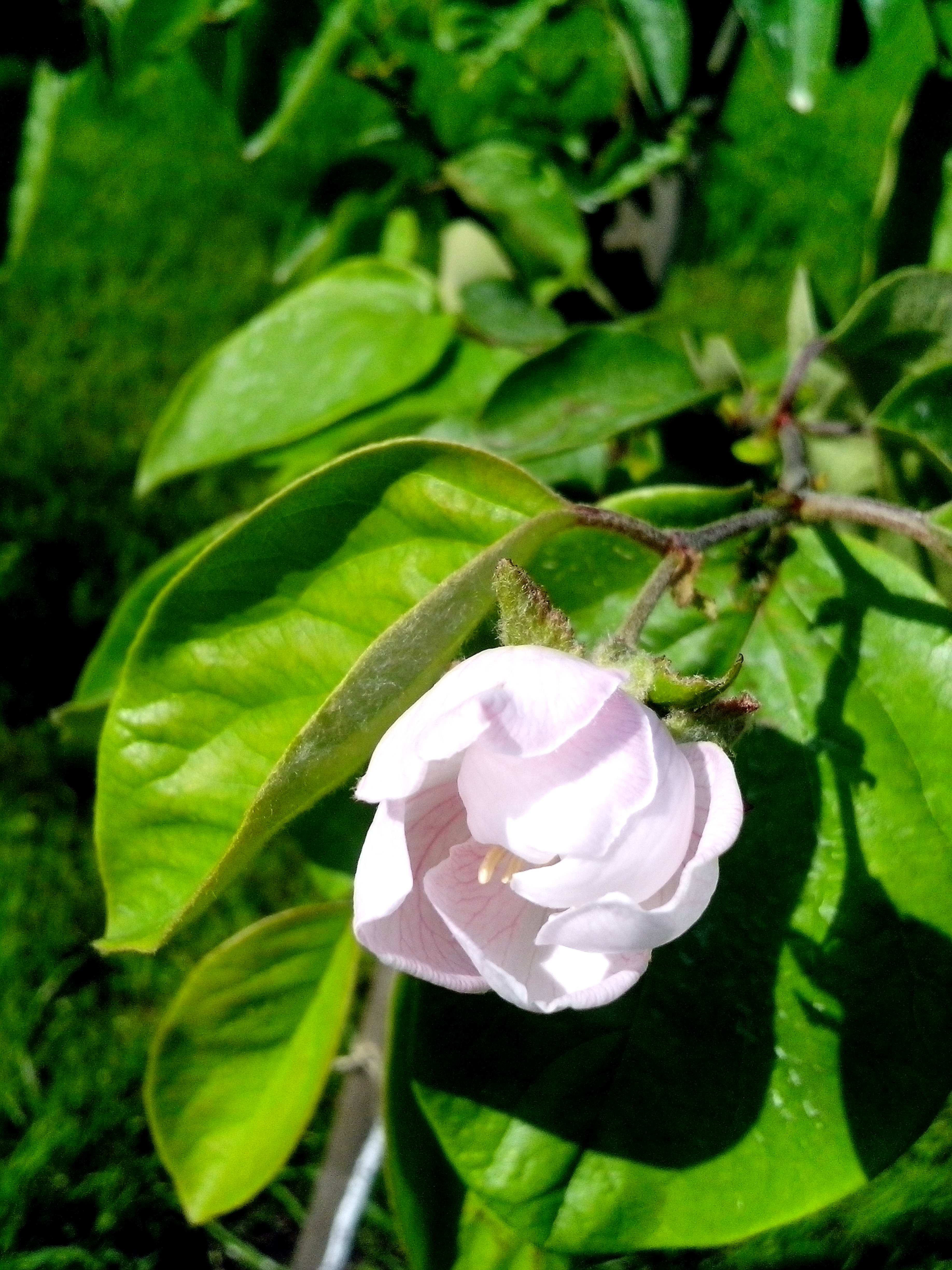 Free photograph; big, flower, quince, tree