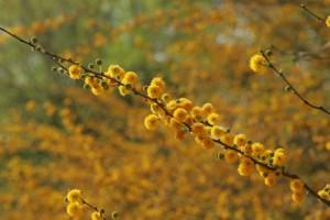 rafale, la couleur, la floraison, plante