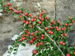 Bush, větev bobule, červená