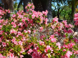 buisson, fleurs roses