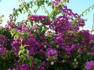 buisson, fleurs pourpres