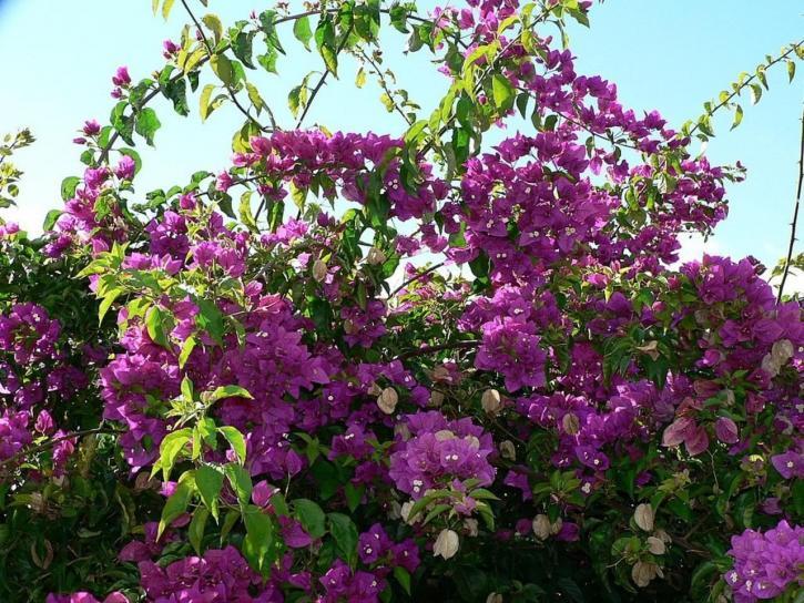 Free picture bush purple flowers bush purple flowers mightylinksfo