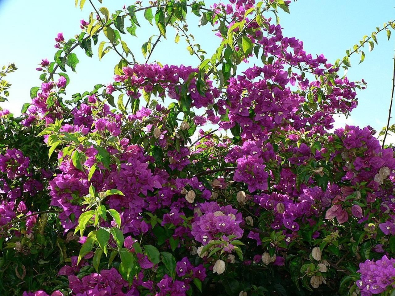 Shrubs with purple flowers pictures - Bush Purple Flowers