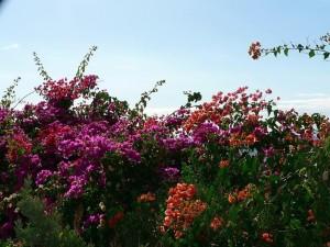 Bush, fialové, červené, oranžové květy