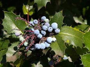 berriy, berries, holly, plants, leaves, leaf