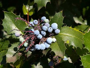 berriy, bær, holly, planter, blader, blad