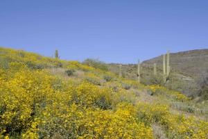 brittlebush, saguaro, cacti, cover, hillside
