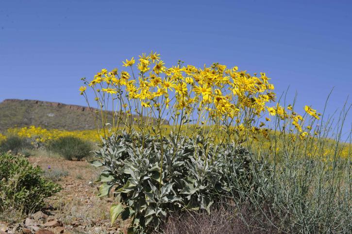 brittlebush, stands, hillside
