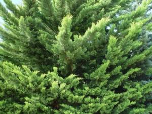 bushy, pines, background