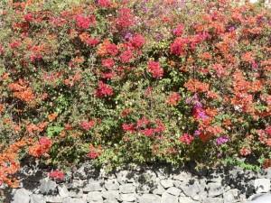 coloré, fleurs, buisson