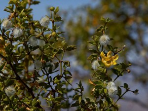 Creosot, bush, pouštní