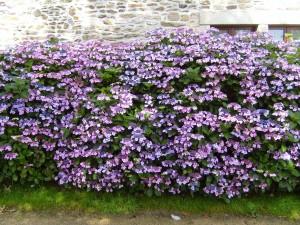 fleurs, haie, hortensia