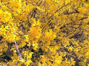 forsythia, fleur