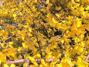 Forsythia, kvitnúce, bush