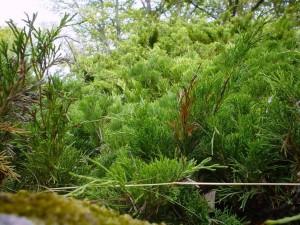 zelená, bush