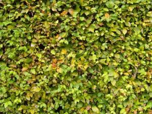 charmille, couverture, surface, vert
