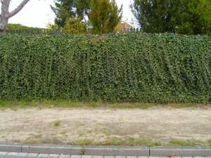 ivy, hedge