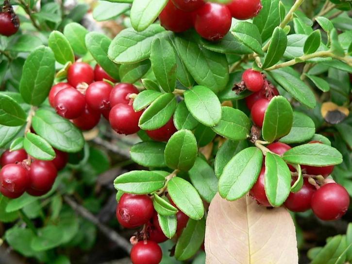 lingonberries, green leaves