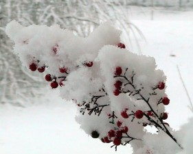 nandina, berries