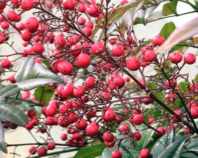 nandina, buisson, baies