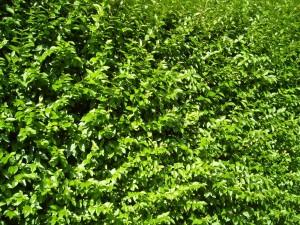 envahi, vert, buisson