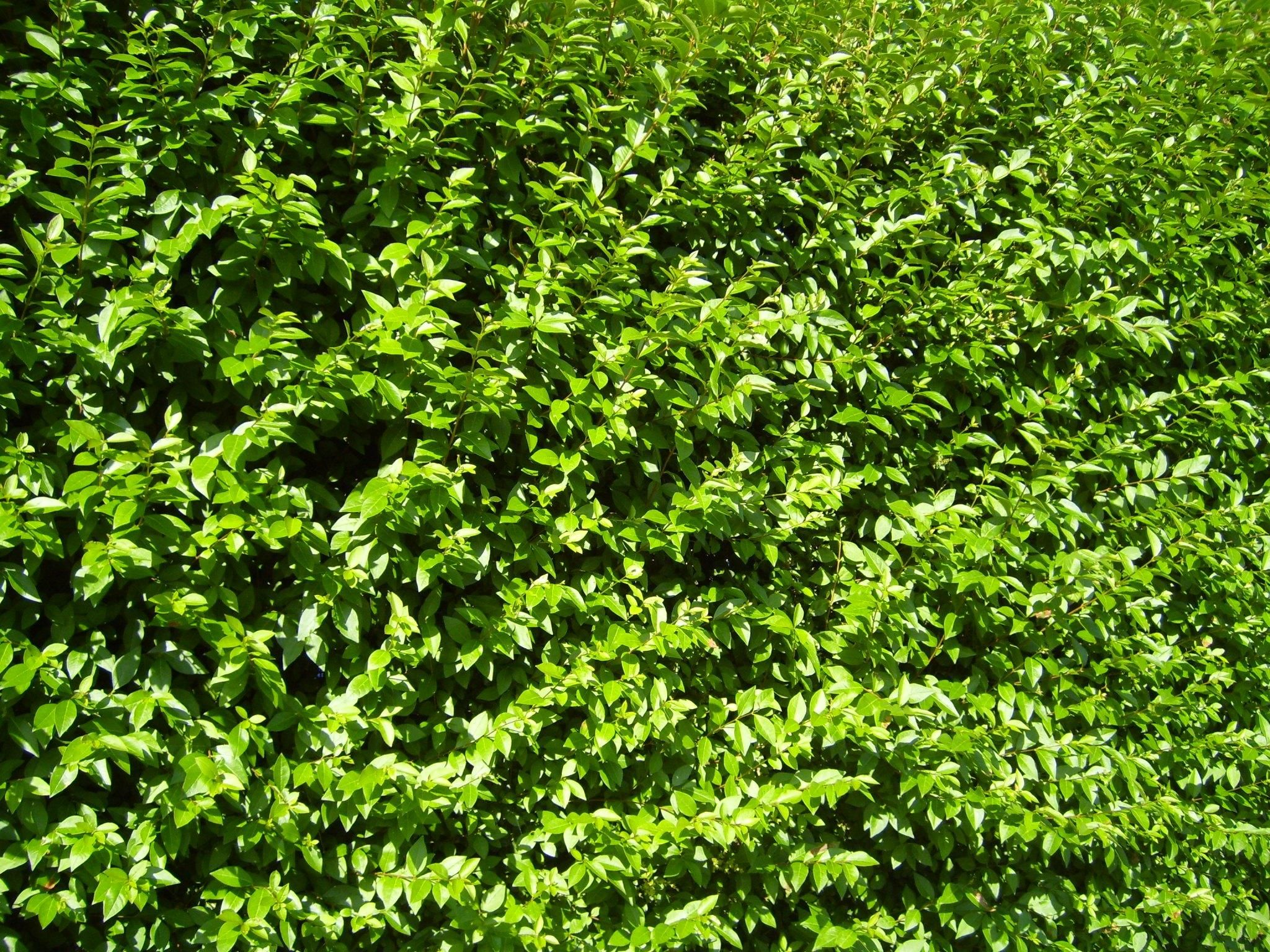 Free Picture Overgrown Green Bush