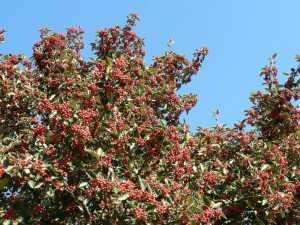 shrubs, red, berries